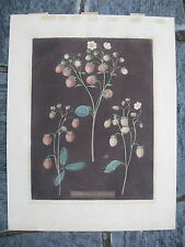 Original Antique George Brookshaw Strawberries Aquatint Plate 3 Pomona Britanica