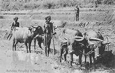 Ceylon Buffaloes Ploughing In Paddy Fields P/C