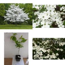 "1 White Flowering Dogwood Cornus-Florida Live Plant 4""Pot 4-10""in Flower Garden"