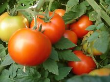 Tomato Seeds 200 Early Girl Tomato BULK SEEDS