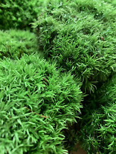 More details for preserved green cushion bun moss