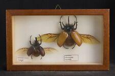 Antique Xylotrupes Gideon & Eupatorus Gracilicornis, wood and glass display case