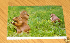Postcard Mike Roberts Continental Animals Prairie Dogs