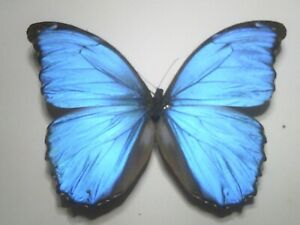 Real Insect/Butterfly Spread B7819 Rare Large Blue Morpho menelaus alexandrovna
