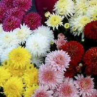 Chrysanthemum Early Double Seeds Mixed Colours Small Shrub Good Vase Life