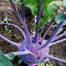 Vegetable Seeds Purple Cabbage Kohlrabi Violetta Heirloom NON GMO