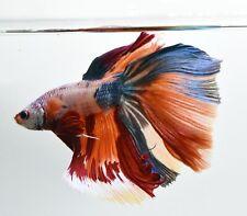HM Nemo Galaxy Betta Live Fish HOT [PremiumAAA+] 1.3 Male XL Beautiful color