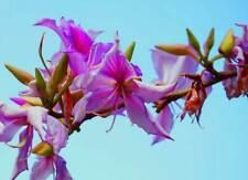 eine wunderschöne Zimmerpflanze ! Der purpurne indische Orchideen-Baum