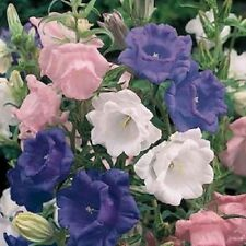 50+ CAMPANULA CANTERBURY BELLS CUP AND SAUCER PERENNIAL FLOWER SEED MIX