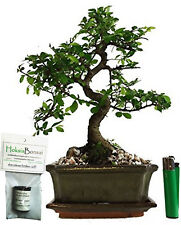 Bonsai tree Chinese Elm - ulmus parvifolia indoor / outdoor +free food(CE15s+FF)