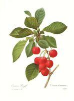 Vintage CHERRIES FRUIT Botanical Print Antique Redoute Art Print pjr 3070