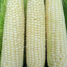 Hickory King Yellow Dent Corn Heirloom Seeds -Non-GMO-Untreated -Open Pollinated