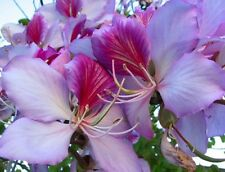 'Bauhinia Variegata'Fragrant Orchid Tree- 5 Fresh Seeds