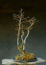 Bonsai outdoor winterhart Hainbuche  Carpinus H63 B40 D3,5 cm