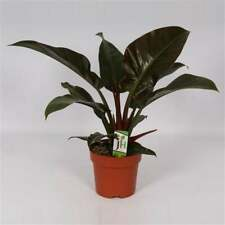 Philodendron Imperial Red 19O 50cm House Plant