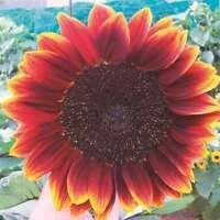 Royal Velvet Sunflower Seed 1.5m Tall Multiple Heads No Pollen Good Cut Flower