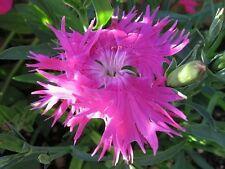 30+ Dianthus Superbus Rose Carnation Flower Seeds / Perennial / Great Gift