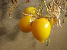Tomate Amarillos PLUM LIMÓN Tomate limón tolerante al frío, Semillas Tomate