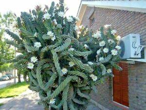 250 seeds  Cereus Forbesii Spiralis - Cactus Espiral seeds