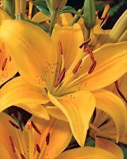 Pack x2 Lilium Asiatic Lily 'Madras' WPC Prins Bulbs/Tubers