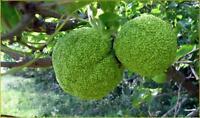 RARA NARANJA OSAGE COMESTIBLE -  maclura pomifera - 5  Semillas Seeds