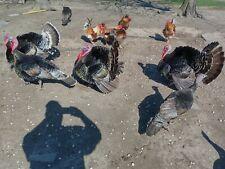6 Narragansett Turkey Hatching Eggs. Free Shipping.