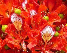 Flammenbaum • 100 Samen/seeds • Delonix regia • Flammboyant • Bonsai •Flame Tree