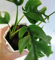 Rhaphidophora Tetrasperma in White Octagon Plastic Planter