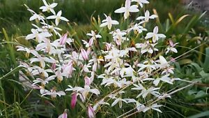 Hesperantha bachmanii, 20 seeds