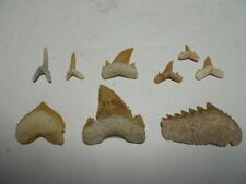 Morocco Shark Tooth Collection - 6 species - 9 Great Teeth