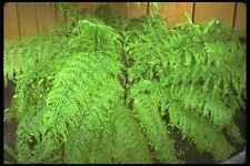 152012 Asplenium Bulbiferum madre spleenwort A4 Foto impresión