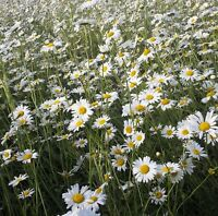 Wildflower Seeds - Oxeye Daisy - 2000 Seed