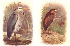"STARLING/"" Color Plate Lithograph 1936 Vintage FUERTES BIRDS #74 /""PURPLE GRACKLE"