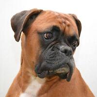 NEU Boxer Hundehalsband - Große Größe - 40cm bis 50cm/39.9to50cm