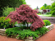20 seeds of Japanese maple weeping Garnet tree