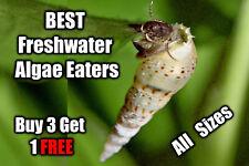 More details for malaysian trumpet snails live 🐌 tropical aquarium 🐌 fish tank clean up crew