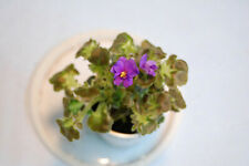 "African Violet ""Kentucky Valley View"" Girl Trailer"