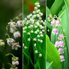 100 Lily of the Valley Convallaria Majalis Flower Seeds Mixed Perennial Bonsai