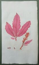 Seaweed Red Dock Leaved Fucus Antique Print Sowerby 1st Edition Colour 1802
