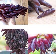 15x Spitz Finger Trauben Neu Samen Pflanze Rarität Obst Neu Saatgut Garten #208