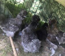 6 silkie hatching eggs
