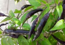 Vegetable seed Rare Black Pepper seeds Spicy Chili garden colorful original pack
