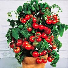 Tiny Tim dwarf cherry tomato 60+ fresh organic seed for 2017
