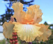 Tall Bearded Iris Global Warmer Rhizome Pink Amber Yellow Cream Award Perennial