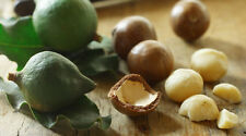 BUY 1 GET ONE FREE, MACADAMIA NUT,Macadamia integrifolia,Fruit Tree,Bush Tucker