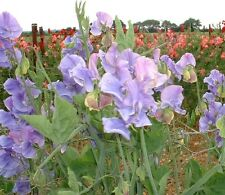 Sweet Pea - Our Harry- 60 Seeds