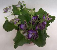 Sport of Spring Dancer live plant in pot