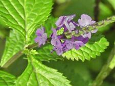 Jamaican Blue Vervain (Vervine) Wildcrafted Alkaline Herb