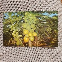 Pawpaw Tree in Flower & Fruit, Australia - Vintage Postcard