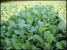 Rape (Dwarf Essex) Garden Vegetable seeds–1 oz
